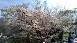 砧公園花見.jpg