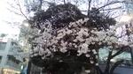 桜(目黒川)2020.jpg
