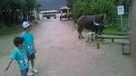 水牛と息子.jpg